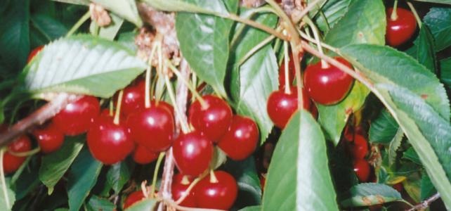 cherries-featured-image